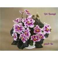 Фиалка Rob's Boondoggle (молодое растение с фото) полумини