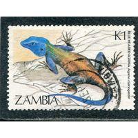 Замбия. Фауна. Ящерица