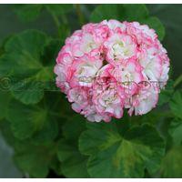 Пеларгония Happy Appleblossom Rosebud
