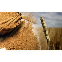 Курсовая - Повышение экономической эффективности производства зерна на примере СПК Остромечево