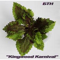 Колеус Kingwood Karnival
