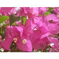 Бугенвилия розовая
