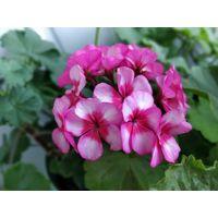Герань цветущая по 5 рублей за одно растение
