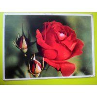 Открытка 1961г. Красная роза. Фото Г. Самсонова