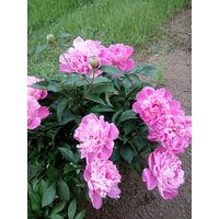 Пионы - многолетние цветы с розовыми цветами.