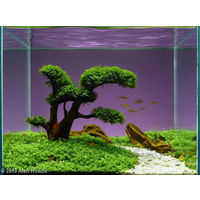 Аквариумные растения: Хемиантус куба