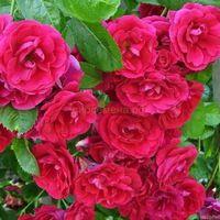 Роза плетистая малиновая