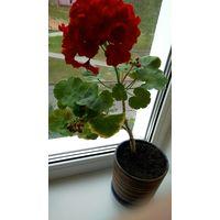 Пеларгония. Продается растение на фото в красивом керамическом горшке с блюдцем.