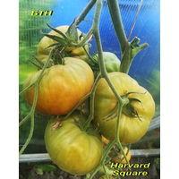 "Семена томата ""Харвард Сквер (Harvard Square) """