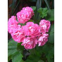 Пеларгония Swanland Pink/Australien Pink Rosebud