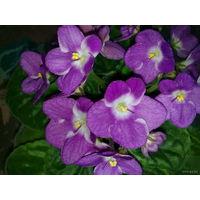 Фиалка темно-розовая с белой серединкой, цветение очень обильное и продолжительное - свежесрезанный листок