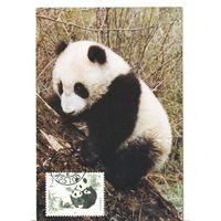 Китай. Панда. Картмаксимум.1995г.
