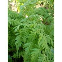 Анис - многолетнее лекарственное растение.