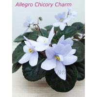 Фиалка Allegro Chicory Charm 2008 - св. лист