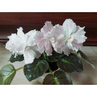 Фиалка ПТ Розовые облока, взрослое растение с Фото