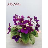 Фиалка полумини Jolly Jubilee - крупная детка  (фото в лоте)