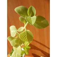 Мелисса растение