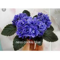 Фиалка ness crinkle blue, детка