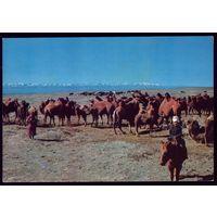 Монголия Мальчик,пастух верблюдов